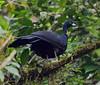 Peru: Wattled Guan by spiderhunters