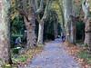 Geschwungene Platanenalleen statt starrer Achsen gehören zur Konzeption des Parkfriedhofes.