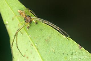 Crab spider (Thomisidae) - DSC_1427