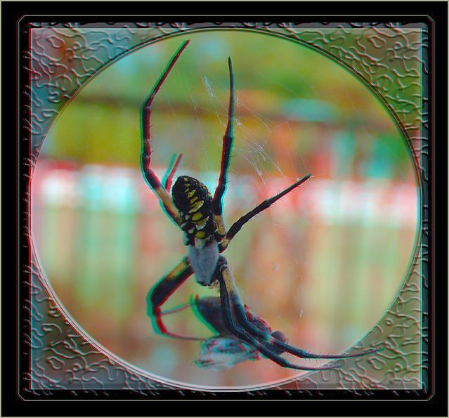 Argiope Aurantia, Black and Yellow Orb Weaver Garden Spider 1 - Anaglyph 3D
