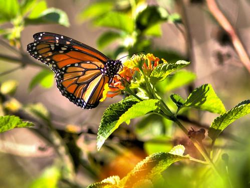 Monarch butterfly 20161231