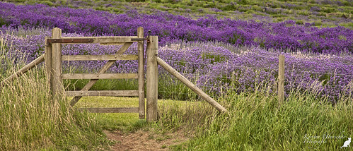 cotswolds snowshill lavender farm greatbritain grosbritannien gb landscape scenery landschaft natur uk unitedkingdomofgreatbritainandireland door