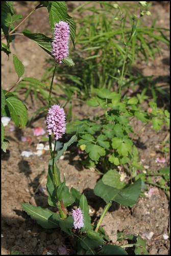 Persicaria (= Polygonum) - les renouées 22506617651_6ced742efe