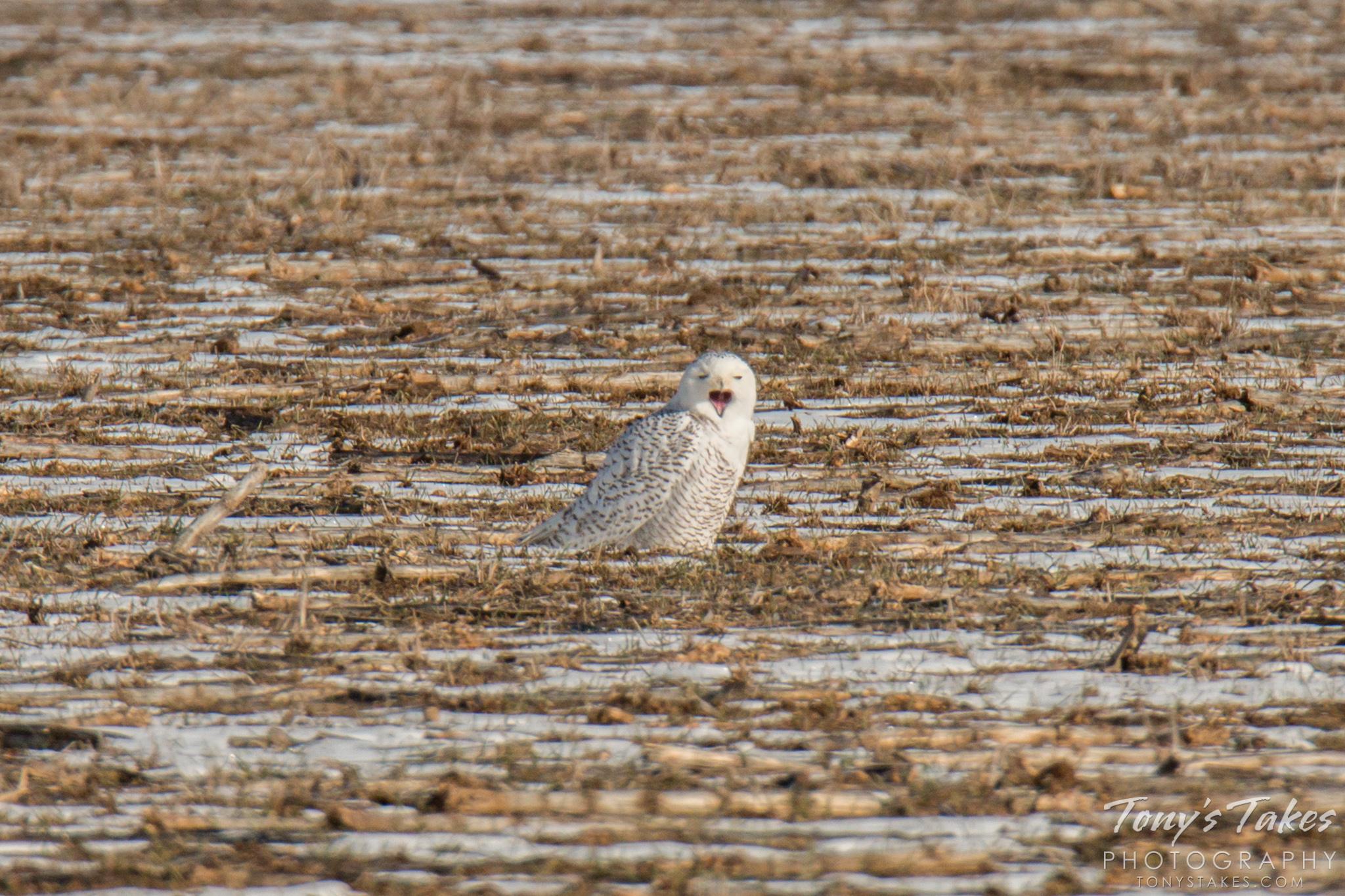 """The Snowy Owl says, """"I want snow!"""""""