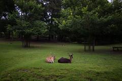 deer, Malieveld Den Haag