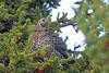 Spruce Grouse, Denali NP, Alaska by Terathopius