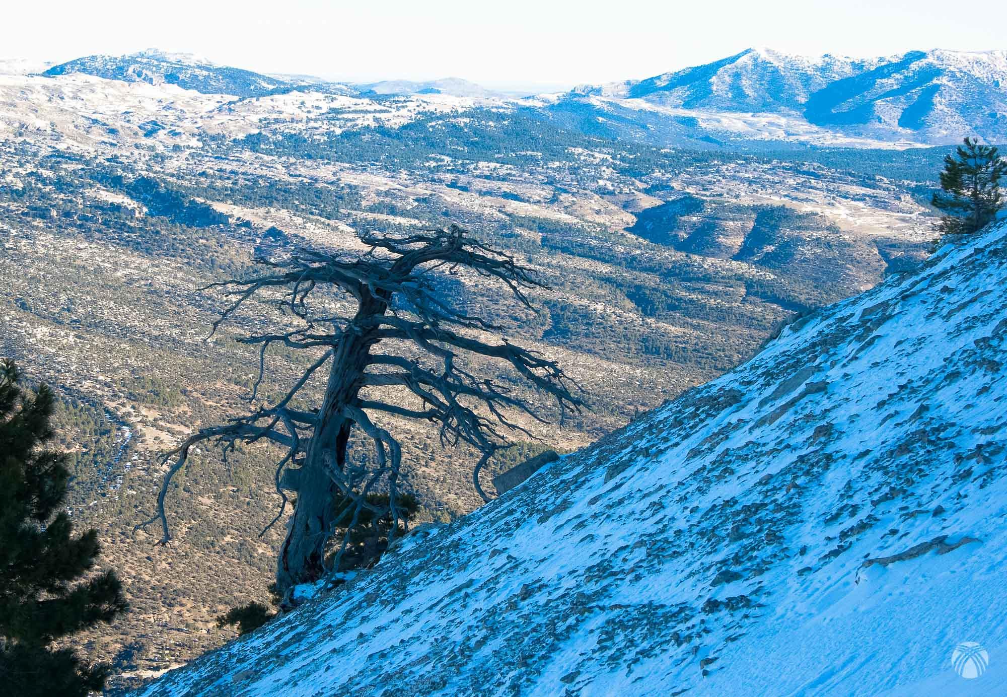 El característico árbol seco