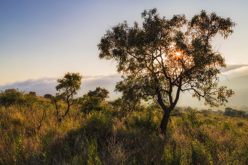 faureasaligna transvaalbeech sunrise kpnr kuduprivatenaturereserve kuduranch kudugameranch lydenburg mpumalanga southafrica coth5