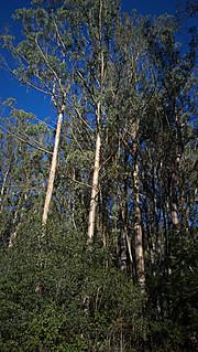 N20151231-0019—Eucalyptus globulus—Tilden Nature Area