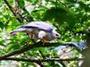 Grey Goshawk (Accipiter novaehollandiae) by David Cook Wildlife Photography