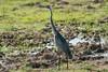 Black-Headed Heron by Makgobokgobo