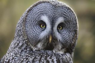 owl in the sunlight (1 of 1)   by Evelakes67