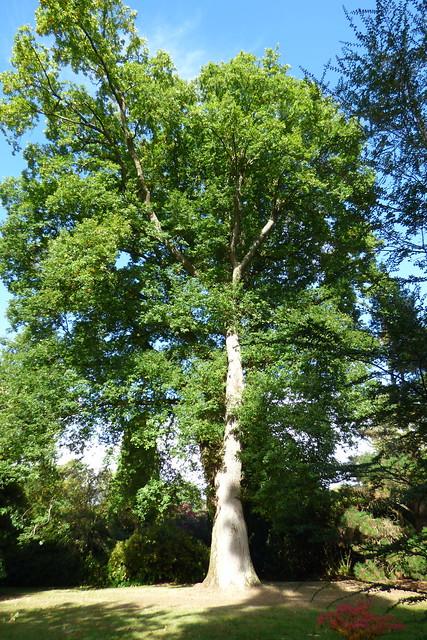 A mighty oak at Sheffield Park Garden, National Trust