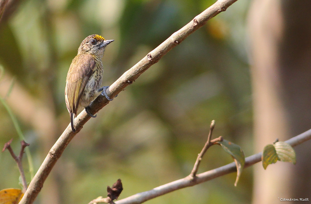 Bar-breasted Piculet (Picumnus aurifrons)