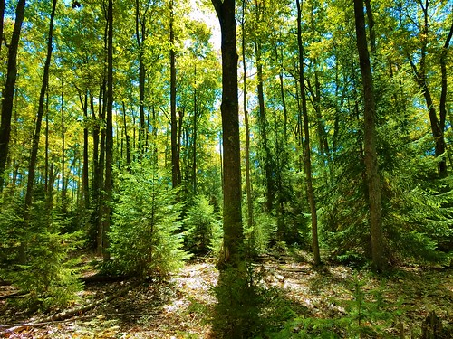 Beautiful spruce/hardwood forests along David Lewis Trail