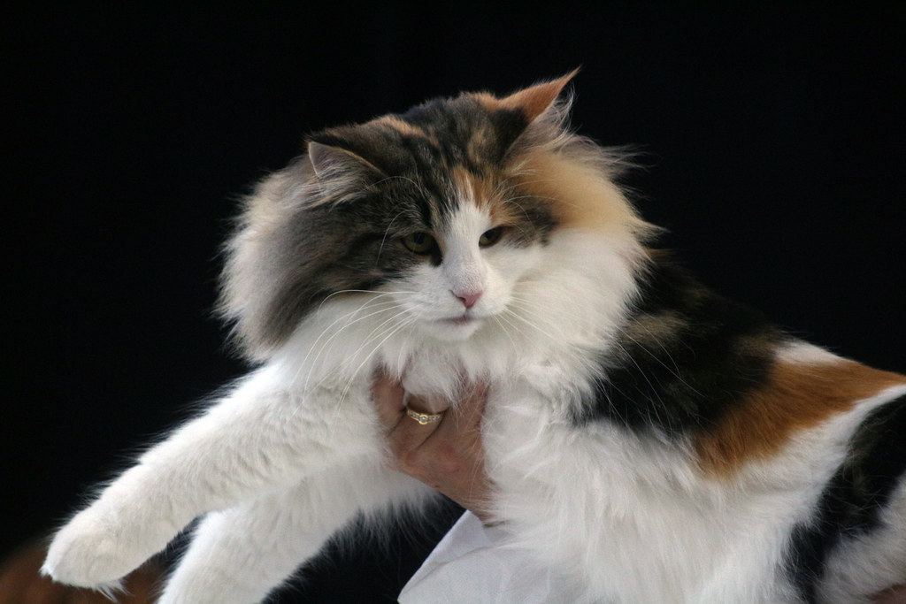 Calico Cat With Interesting Gps >> Norwegian Forest Cat Calico Tortie White A Cat At A C Flickr