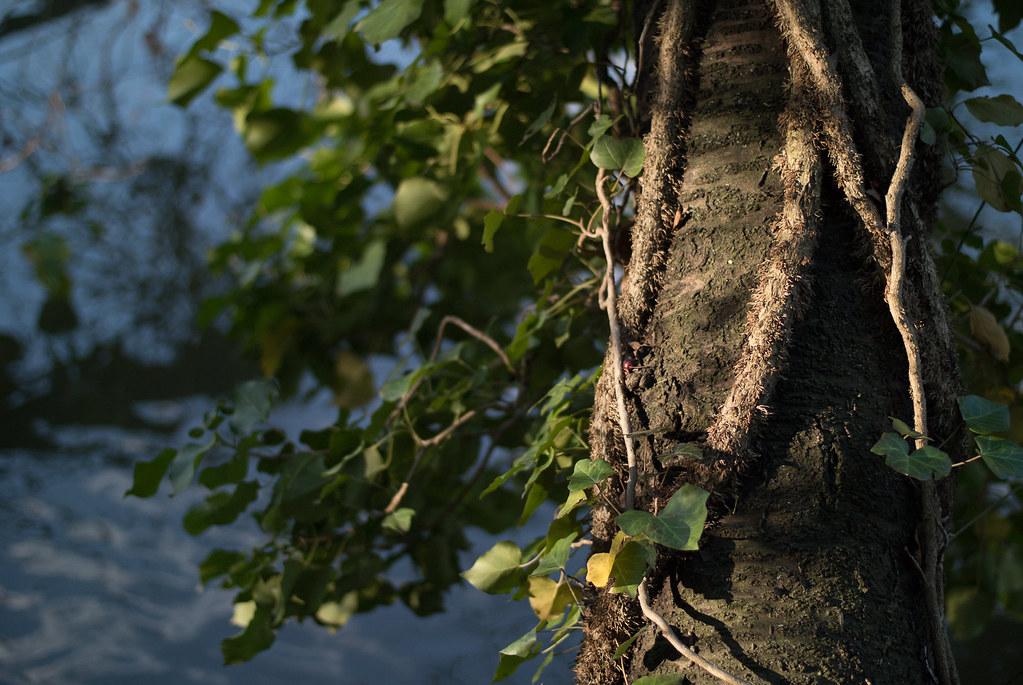 Big vines on a tree