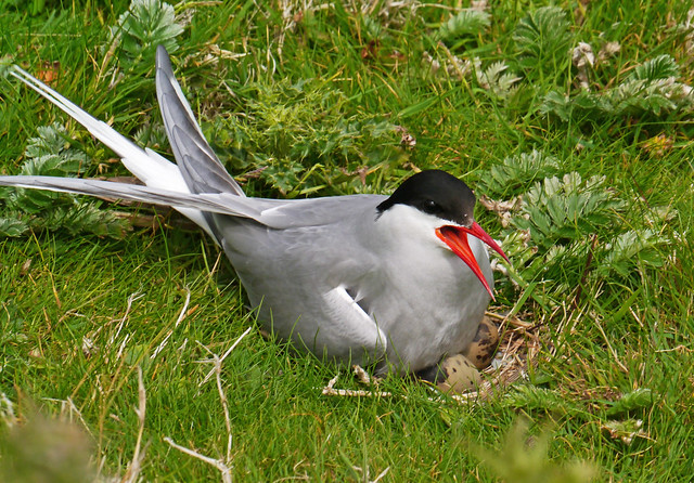 Arctic tern on eggs (Sterna paradisaea), Isle of May NNR