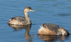 Hoary-headed grebes (Poliocephalus poliocephalus).02 by Geoff Whalan