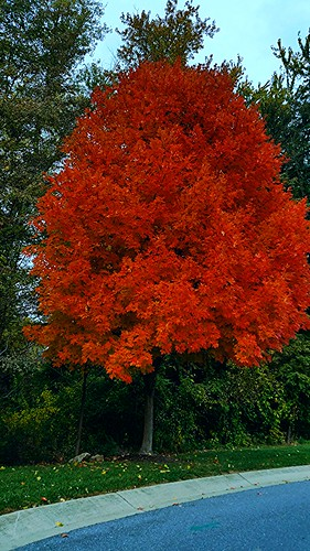 201510 westminster maryland tree