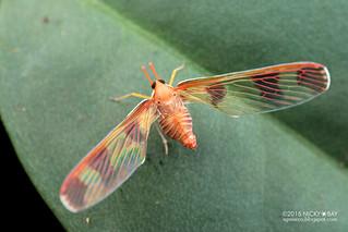 Derbid planthopper (Derbidae) - DSC_1031