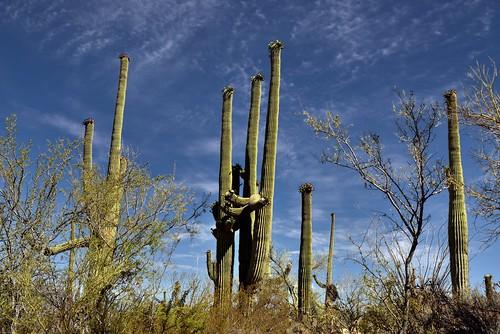 nikond800e day3 saguaronationalpark saguaronationalparktucsonmountaindistrictwest lookingnorth desert desertlandscape sonorandesert desertplantlife outside nature saguaro cactus carnegieagigantea saguarocactus arborescenttreelikecactus cactusacrossdesertlandscape landscape capturenx2edited colorefexpro hikealongvalleyviewoverlooktrail project365 portfolio cactusflowers topofsaguarocactus paloverde bajadawashtrail arizona unitedstates