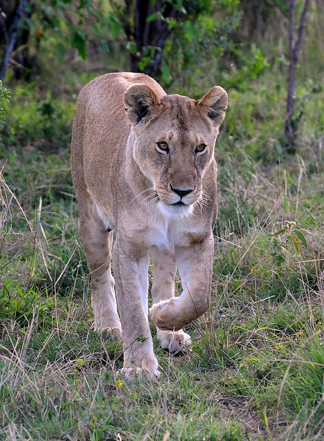 Female Lion of the mating pair heads towards the big male.
