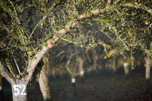Portrait_of_an_old_Apple_Tree_88234