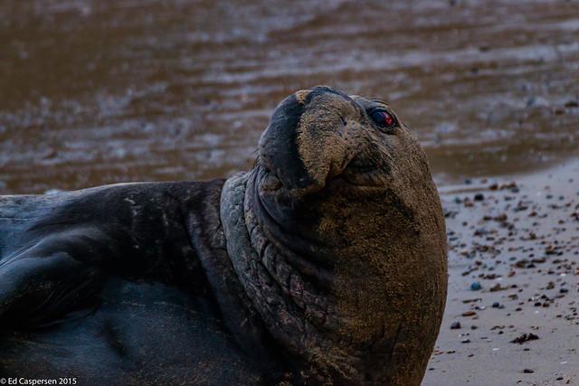 Northern Elephant Seal bull