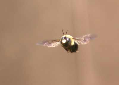 yellow and black bee with a yellow patch on face flying facing camera in front of a blurry brown background