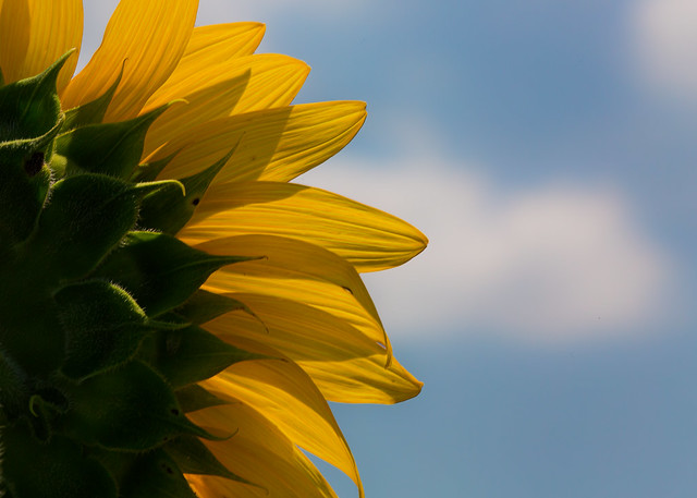 The View From a Sunflower