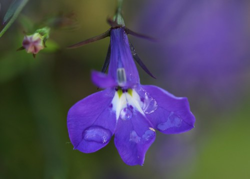 Lobelia with raindrops | by Ruth and Dave