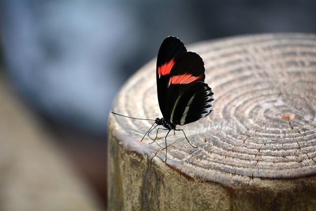 Postman Butterfly (Heliconius melpomene)