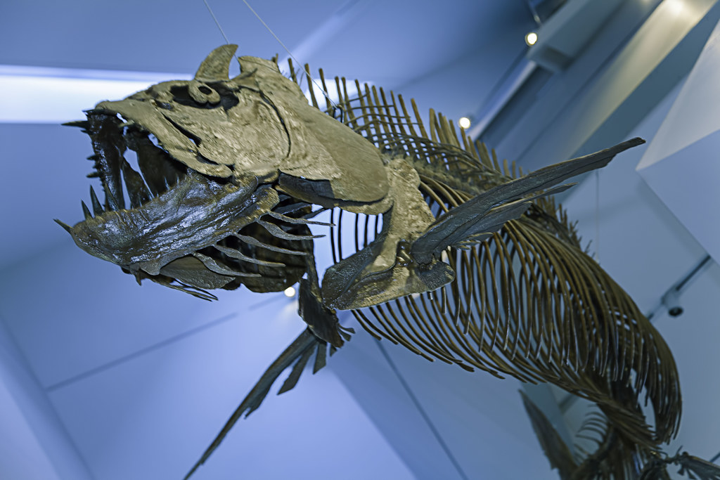 Xiphactinus audax   Xiphactinus is an extinct genus of ...