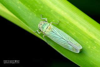Leafhopper (Cofana sp.) - DSC_9549