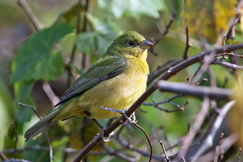 park winter green bird birds yellow female colorful december florida painted branches brush rare shrubs songbird bunting boatramp uncommon paintedbunting claycounty 2015 passerinaciris flagged passerine flemingisland ebird steveraduns lakeshoreboatramp
