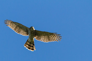 Sharp-shinned Hawk | by TimHerbert