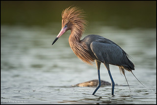 Reddish Egret @ Florida | by Nikographer [Jon]