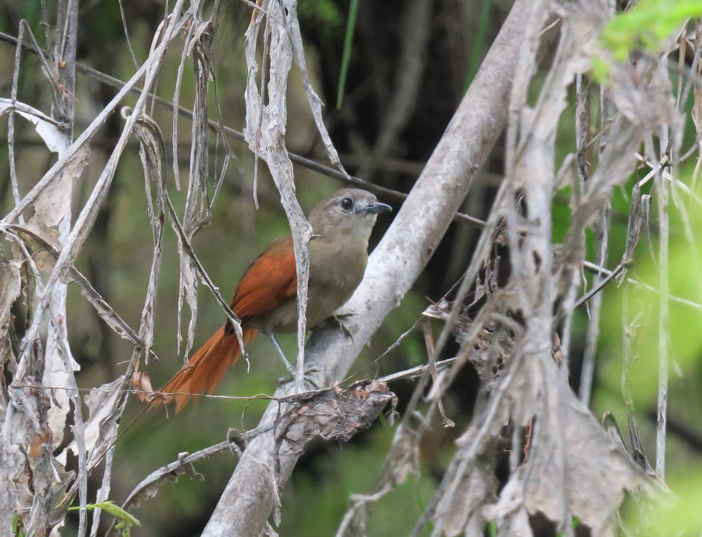 Plain-crowned Spinetail  Synallaxis gujanensis