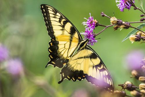 summer nature butterfly us nikon unitedstates pennsylvania wildlife pert swallowtail easterntigerswallowtail brynathyn huntingdonvalley montgomerycounty d7200 pennypackecologicalrestorationtrust