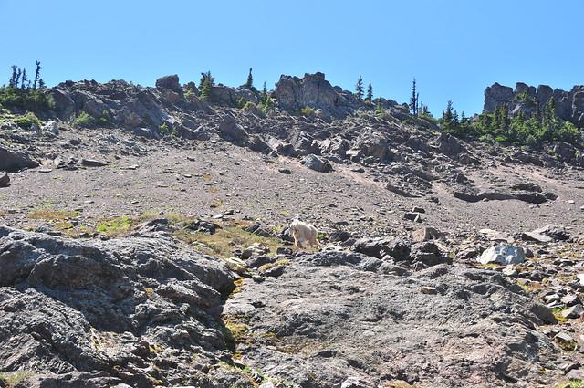 Mountain Goats crave salts
