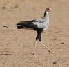 Secretary Bird by Wild Chroma