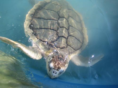 Sea turtle in water | by saveloraturtles