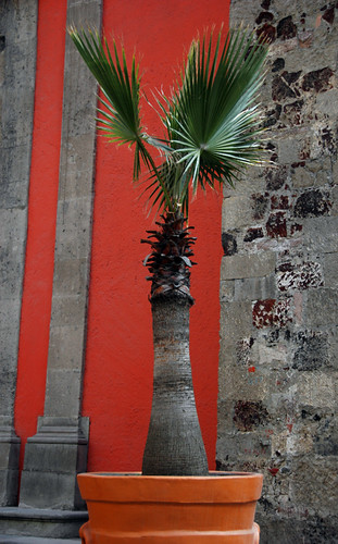 A Fan Palm in Mexico D.F.