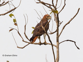 Red-necked Buzzard,  Buteo auguralis   by Graham Ekins