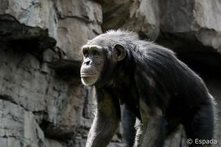 Chimpance (hembra) | by espada100