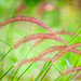 Grasses - Photo (c) Subash BGK, some rights reserved (CC BY-NC-ND)