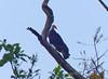 Guala Amazónica, Greater Yellow-headed Vulture (Cathartes melambrotus) by Francisco Piedrahita