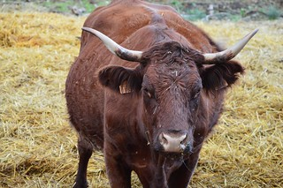 Brown cow   by K1_Camz