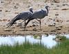 Blue Cranes by Wild Chroma